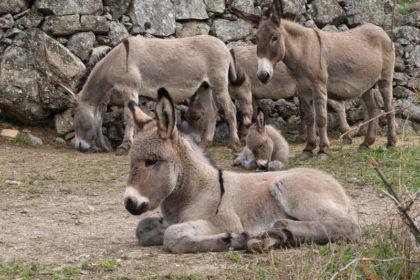 Famille d'ânes