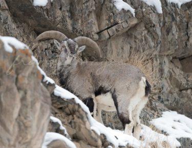 Mâle Grand Bharal ou Mouton bleu de l'Himalaya