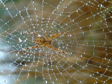 Une araignée sur sa toile pleine de rosée