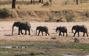 Éléphants en file indienne
