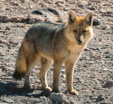 Renard des Andes ou Culpeo, également appelé Loup de Magellan ou Renard de Magellan.