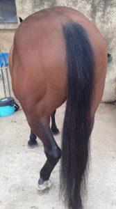 Queue d'un cheval : appendice situé sur la croupe du cheval et composé de longs crins, à l'instar de sa crinière