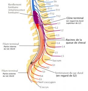 La queue de cheval : un faisceau de cordons nerveux visible dans la zone inférieure de la colonne vertébrale
