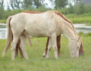 Sexe de cheval en semi-érection