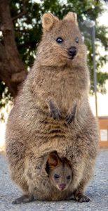 Femelle quokka et son petit dans sa poche marsupiale