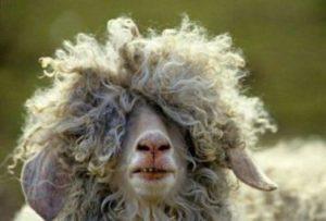Une tête de mouton très frisé