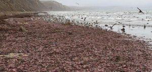 Des poissons-pénis, échoués en masse sur une plage de Californie (États-Unis d'Amérique), en décembre 2019