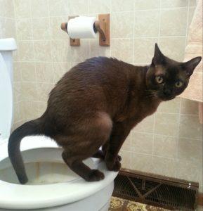 Chat faisant ses besoins dans une cuvette de toilette