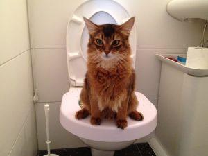 Chat roux à poils longs faisant ses besoins dans une cuvette de toilette