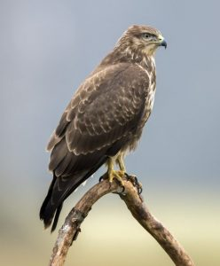 Une buse : oiseau rapace diurne