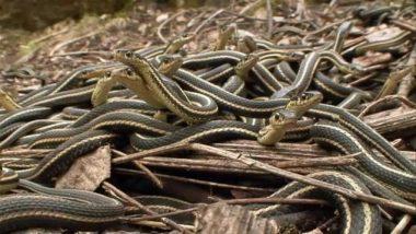 Le plus grand nid de serpents au monde : environ 70 000 serpents-jarretières (ou couleuvres rayées), près des villages de Narcisse et d'Inwood (Manitoba) (Canada)