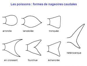 Formes de nageoires caudales de poissons