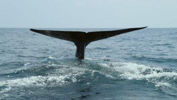 Nageoire caudale de baleine bleue
