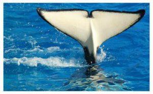 Nageoire caudale d'orque
