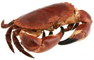 Un crabe tourteau