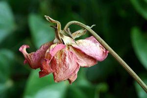 Une fleur fanée
