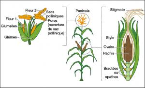 Composition de la fleur et de l'épi de maïs