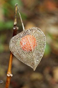 """L'alkékenge, également appelé """"Cerise d'hiver"""", """"Coqueret alkékenge"""", """"Lanterne"""" ou... """"Amour-en-cage"""", mais on se demande vraiment pourquoi !"""