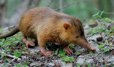 L'almiqui - également appelé Solénodon de Cuba ou Solénodonte de Cuba - un rarissime mammifère venimeux endémique de Cuba