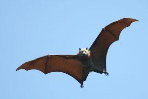 Une chauve-souris en plein vol