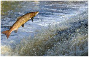Saumon remontant une rivière vers sa source pour aller pondre
