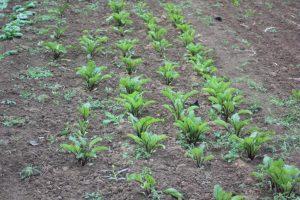 Des adventices dans un semis de betteraves potagères