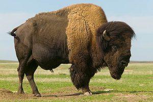 Un bison d'Amérique