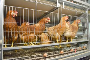 Une cage à poules pondeuses