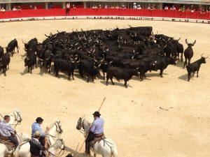 Rassemblement de taureaux dans une arène