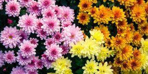 """""""La fleur des cimetières"""" : le chrysantème"""