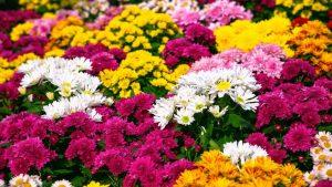 """""""La fleur de la Toussaint : le chrysantème"""