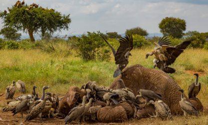 Des vautours en train de dévorer la carcasse d'un éléphant, en Afrique