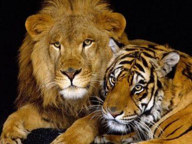 """Un lion et une tigresse """"félins pour l'autre"""""""