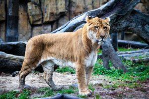 Un ligre, croisement hybride d'un lion et d'une tigresse