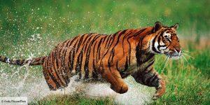 Un tigre bondissant