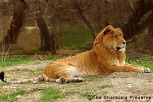 Un tigron, croisement hybride d'un tigre et d'une lionne