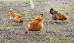 Des poules qui picorent
