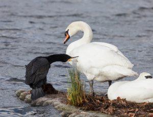 Un cormoran bectant un cygne blanc sur le lac d'un parc londonien, c'est à dire : le frappant à coups de bec