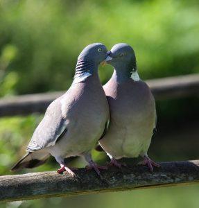 Des pigeons qui se bectent, c'est à dire : se caressent du bec