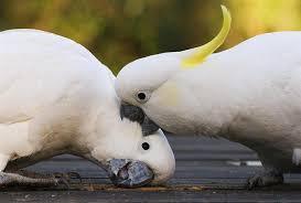 Des perroquets qui se bectent, c'est à dire : se frappent du bec et même se mordent