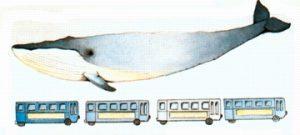 Une baleine bleue (ou rorqual bleu) comparée à... quatre autobus !