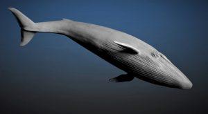 Une baleine bleue ou rorqual bleu