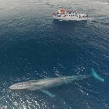 Une baleine bleue (ou rorqual bleu) comparée à un bateau de 23 mètres de long