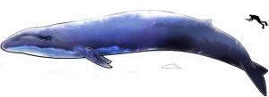Une baleine bleue (ou rorqual bleu) comparée à un humain