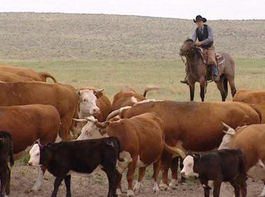 """""""Un bouvier"""" ou """"un vacher"""" (""""""""un cowboy"""")"""