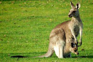 Une femelle kangourou portant son petit dans sa poche