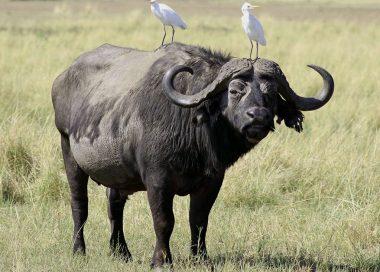 Un buffle africain