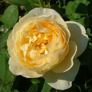 Une rose Charlotte