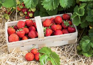 """""""Être aux fraises"""" au sens propre"""