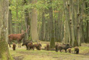 Un cer et des sangliers, en forêt de Rambouillet (77)